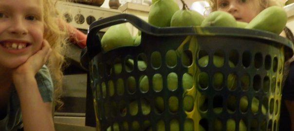 A basket of about 100 large unripe mangos from the fallen branch